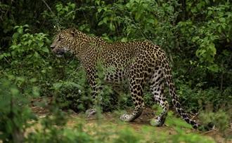 tijdens een jeepsafari in Yala nationaal park kunt u luipaarden spotten op vakantie in Sri Lanka
